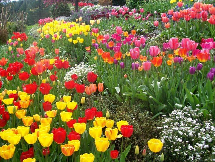 Декоративный чеснок цветы фото