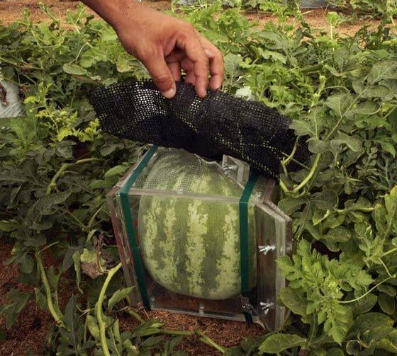 Так выращивают квадратные арбузы