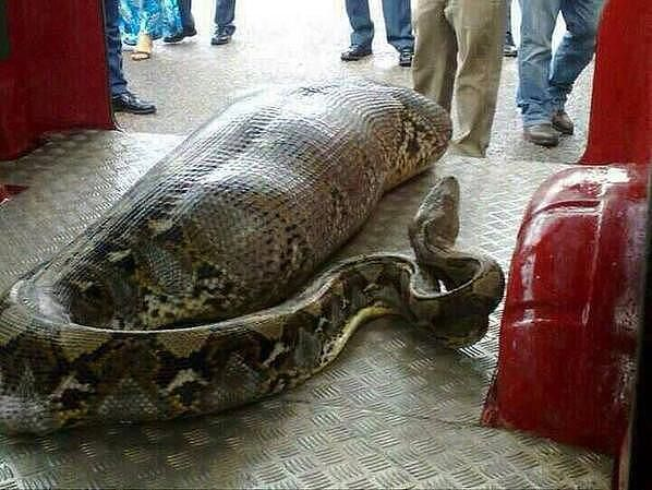 Удав проглотил индонезийца, бедняга умер от удушья в чреве удава