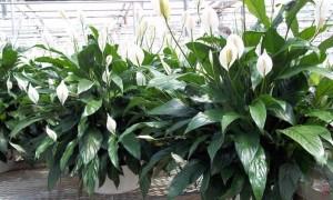 Комнатные цветы: уход в домашних условиях фото и их названия
