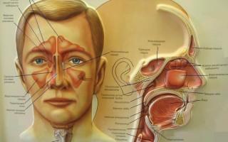 Строение носовой полости, глотки и гортани