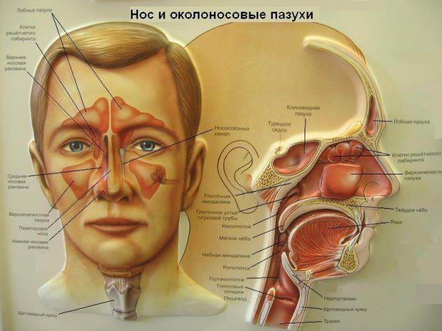 Строение носовой полости, глотки и гортани фото